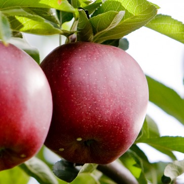 Apples - 50# Boxes