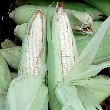 Corn - 38# Bags