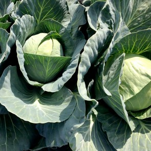 Cabbage - 50# Bags
