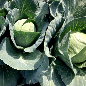 Cabbage, Green - 50# bags