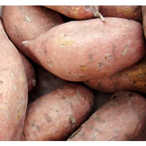 Sweet Potatoes - 1400# Bulk Bins